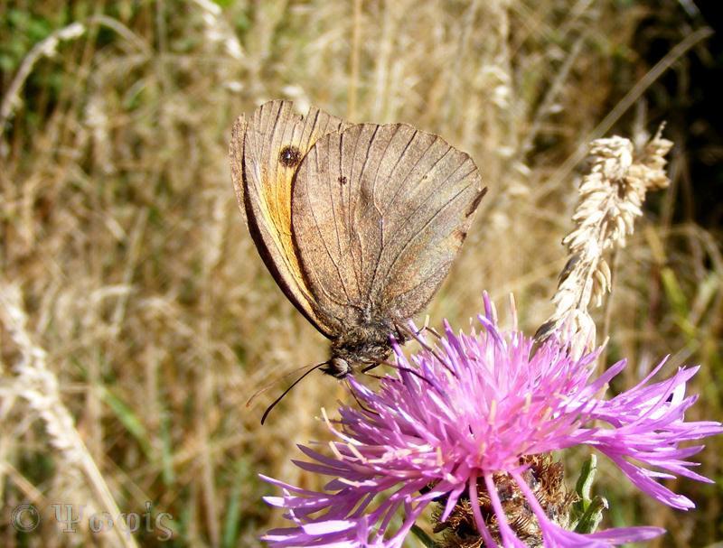 butterfly,gatekeeper,Meadow Brown,Maniola jurtina