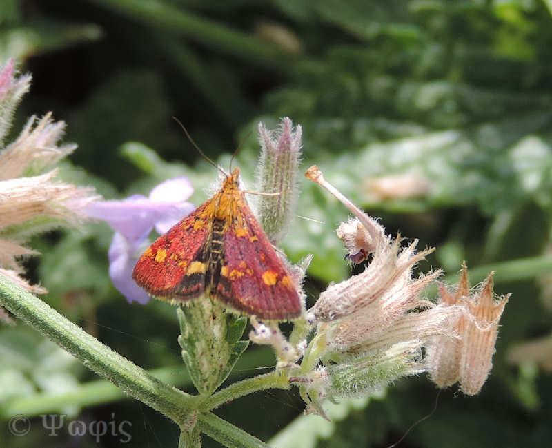 moth,Pyrausta aurata