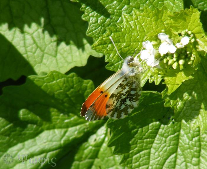 butterfly,orange tip,(Anthocharis cardamines