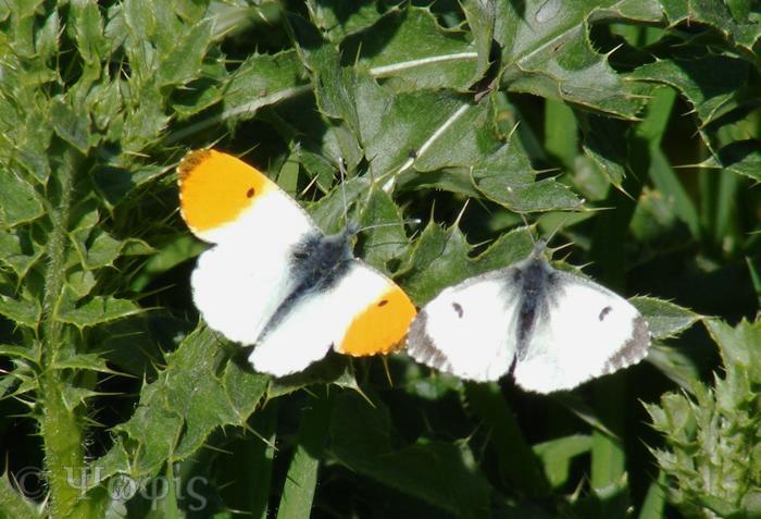 butterfly,orange tip,Anthocharis cardamines