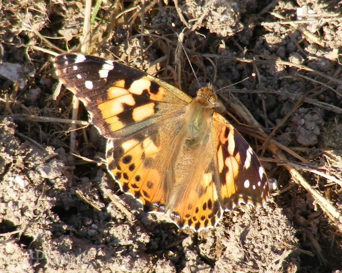 butterfly,Painted Lady,Vanessa cardui