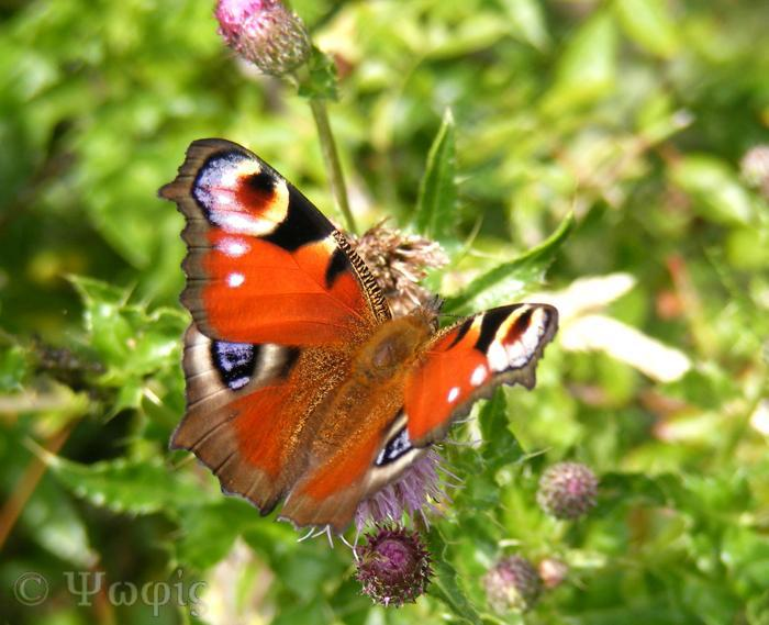 butterfly,peacock butterfly,Inachis io