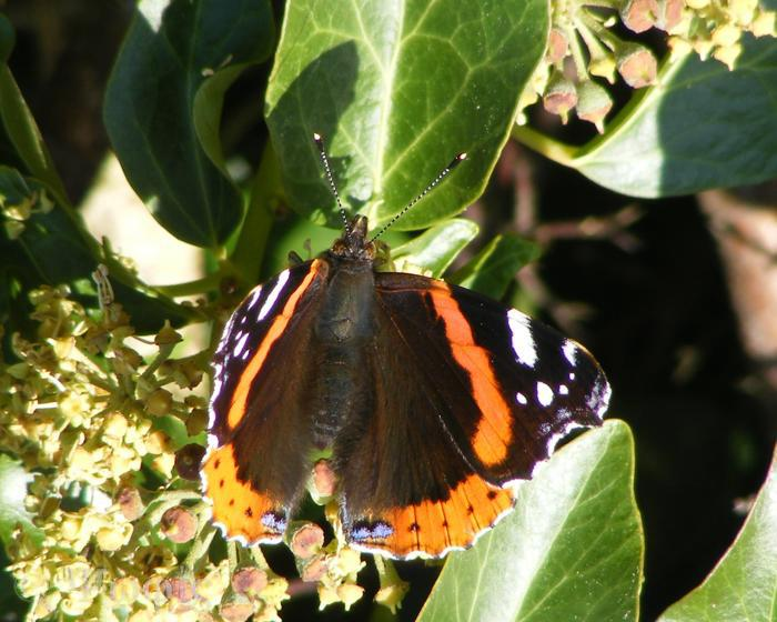 butterfly,Red Admiral,Vanessa atalanta