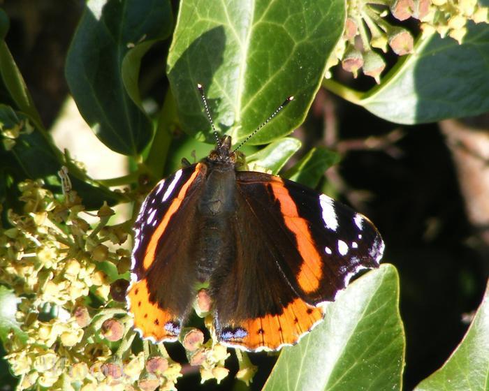 butterfly,Red Admiral,Vanessa atalanta