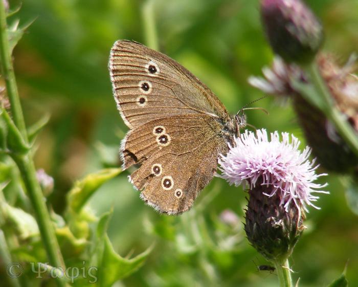 butterfly,ringlet,Aphantopus hyperantus