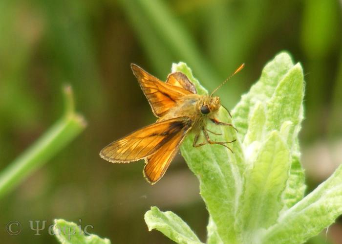butterfly,large skipper,Ochlodes faunus
