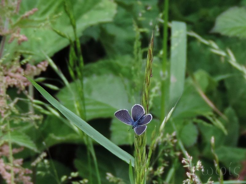 butterfly,Small Blue,Cupido minimus