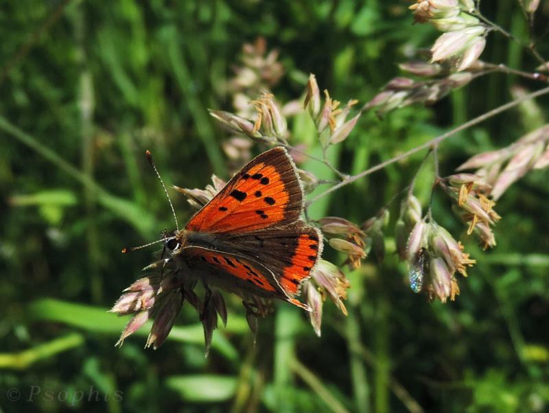 butterfly,Small Copper,Lycaena phlaeas