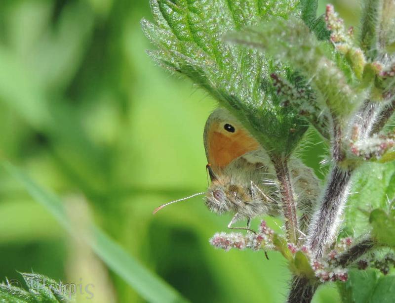 butterfly,gatekeeper,Small Heath,Coenonympha pamphilus