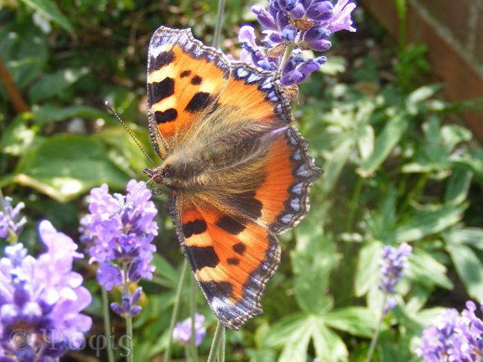 butterfly,Small Tortoiseshell,Aglais urticae