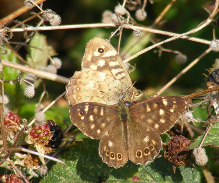 butterfly,speckled wood,Pararge aegeria