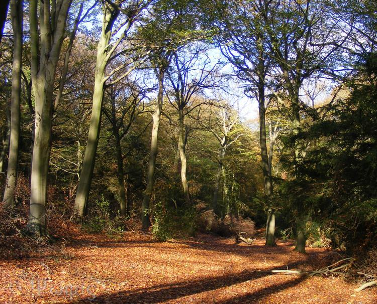 beech trees,autumn colours