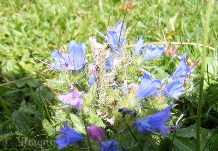 Viper's Bugloss,Echium vulgare