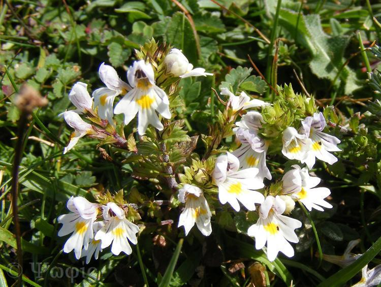 eyebright,Beacon Hill