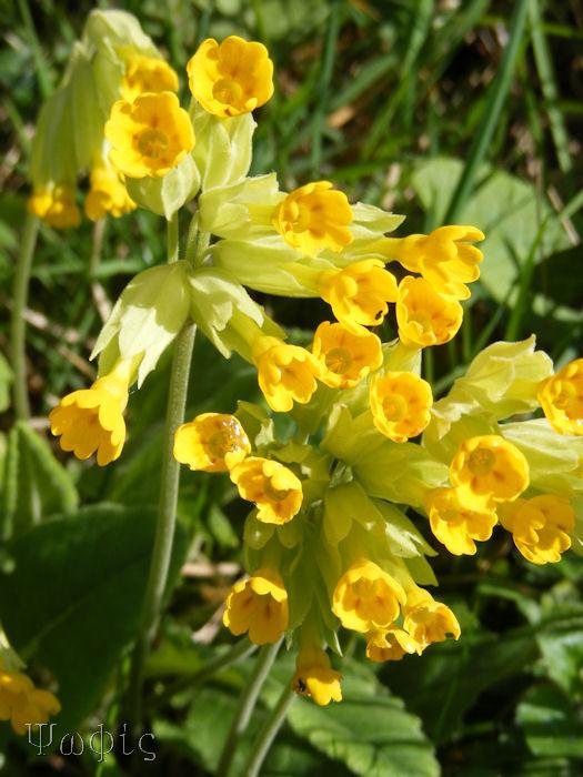 cowslips,Primula veris