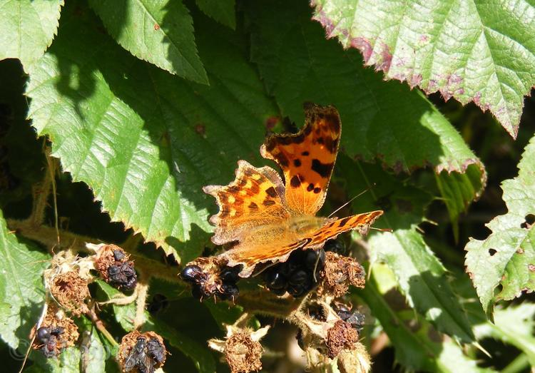 Commas,Polygonia c-album