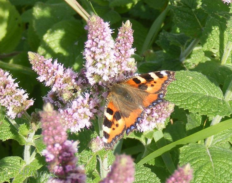 Small Tortoishell butterfly