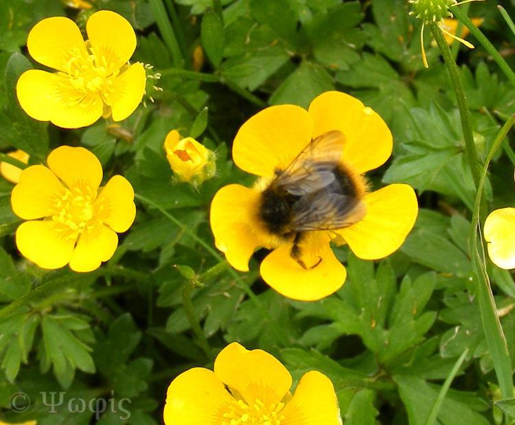 Buttercup,bee