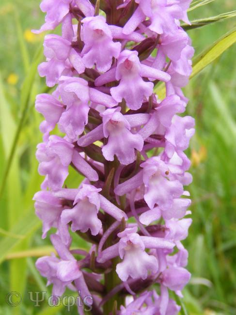 fragrant orchid,Gymnadenia conopsea