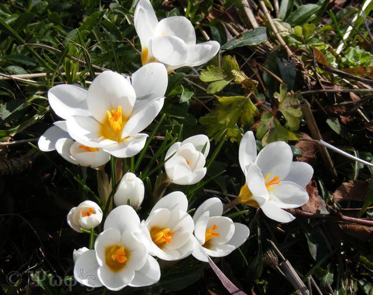 crocus,flower,bulb