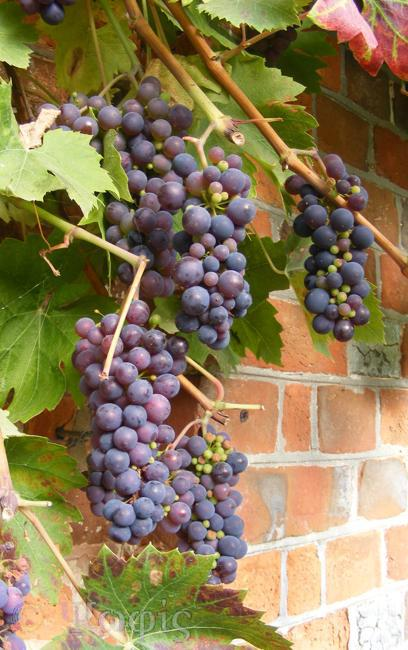 grapes,grape vine