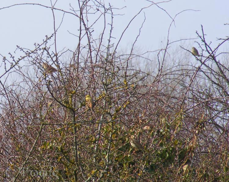 yellowhammer,linnet