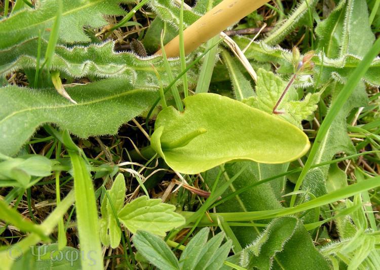adders tongue,Ophioglossum vulgatum