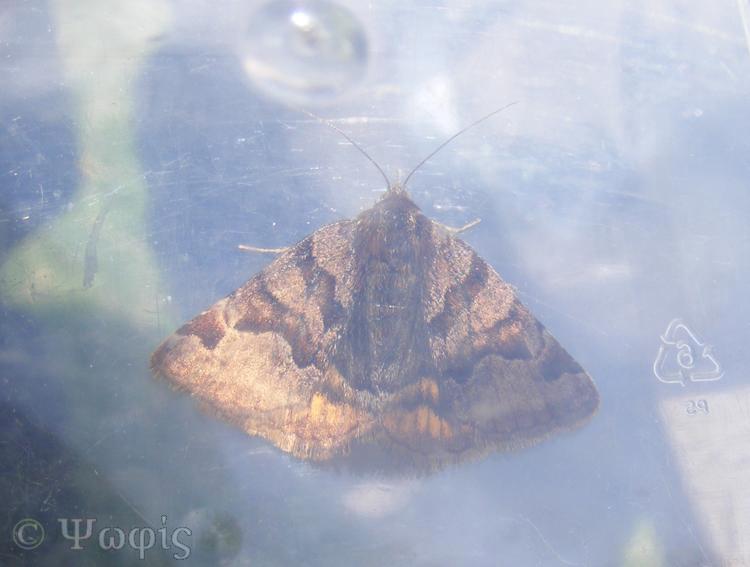 cABarpet moth