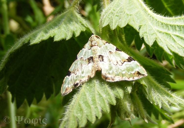 Green Carpet moth,Colostygia pectinataria