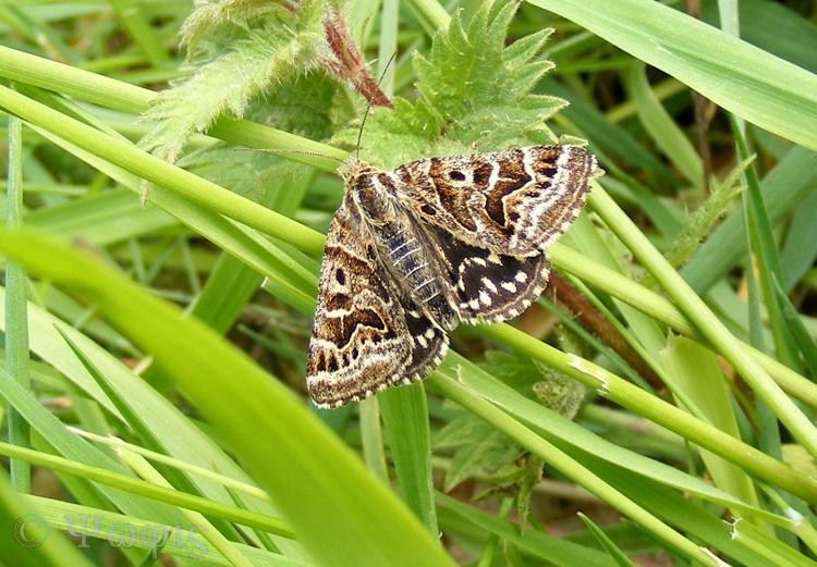 Mother Shipton moth,Callistege mi