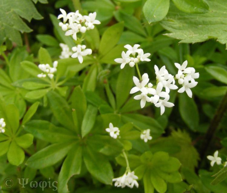 Woodruff,Galium odoratum