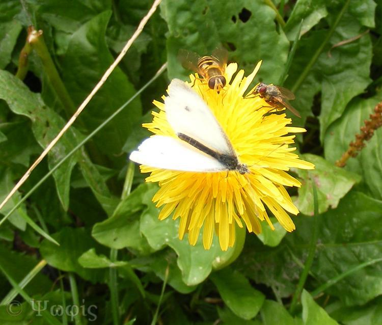 butterfly,hoverfly,fly