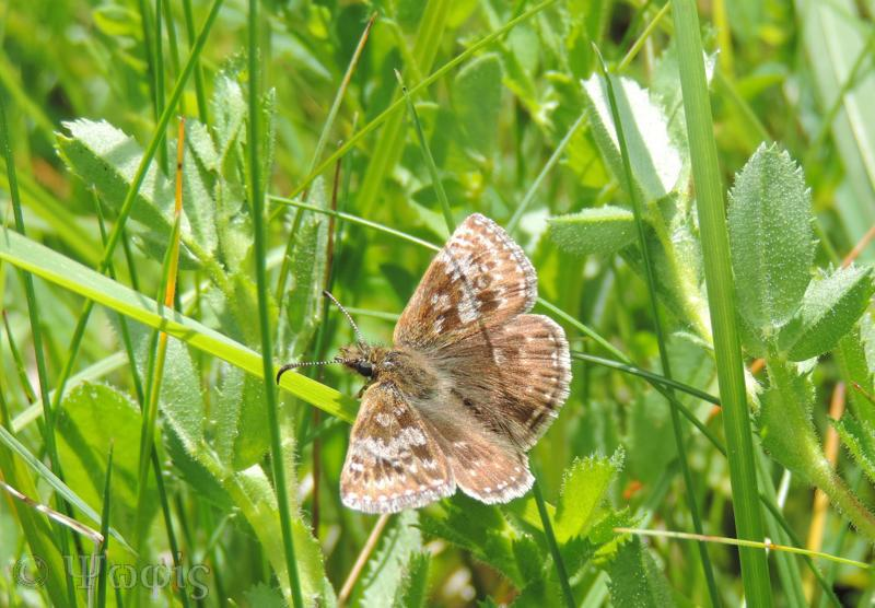 Dingy Skipper,butterfly,Erynnis tages