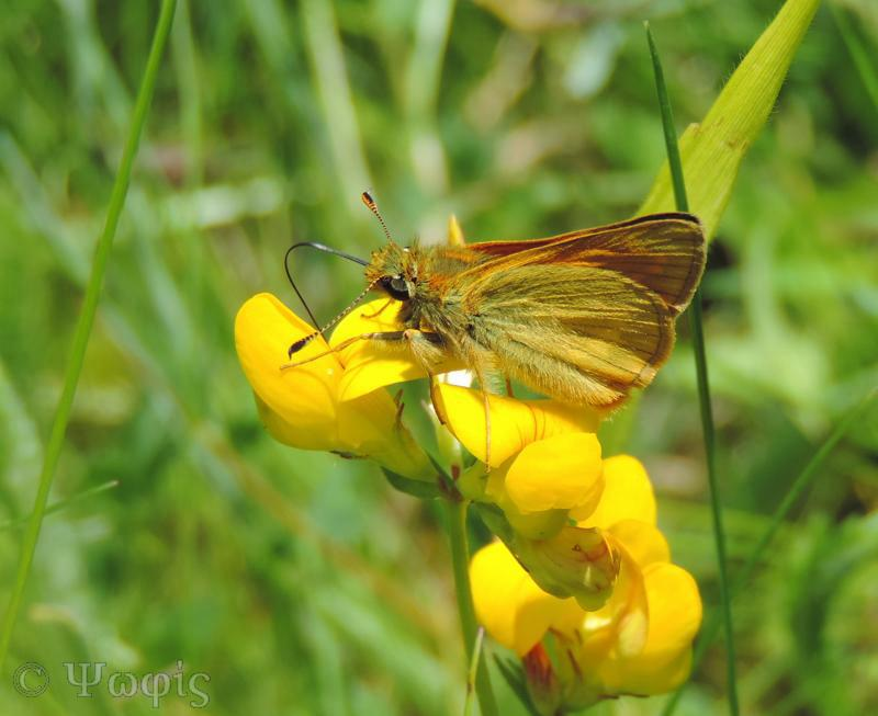 Small Skipper,Thymelicus sylvestris