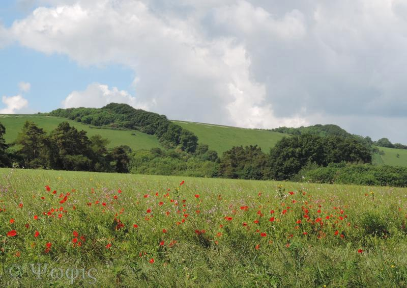 view,poppies