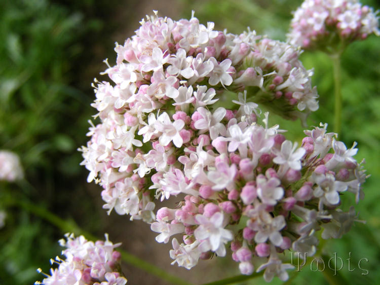 Common Valerian,Valeriana officionalis