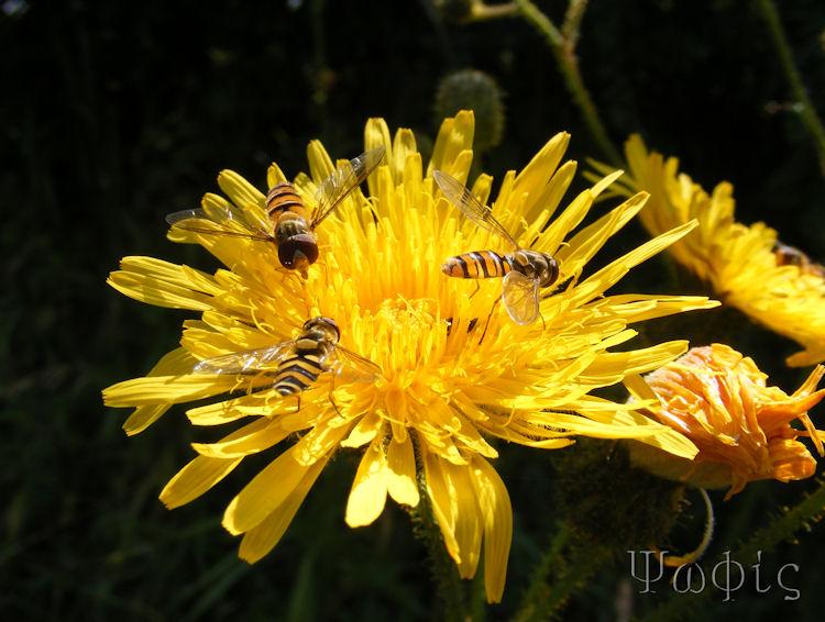 hawkweed,hoverfly