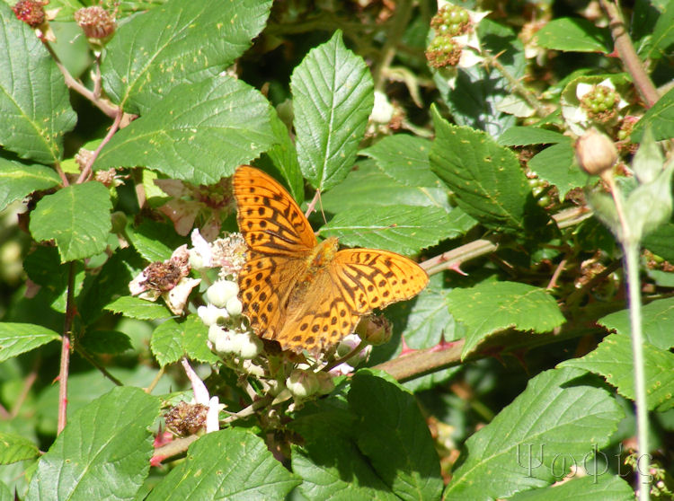 silver washed fritillary,Argynnis paphia