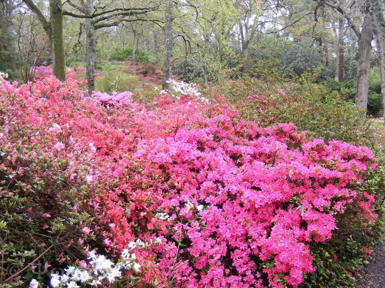 Exbury gardens,Rhododendron,Azalea