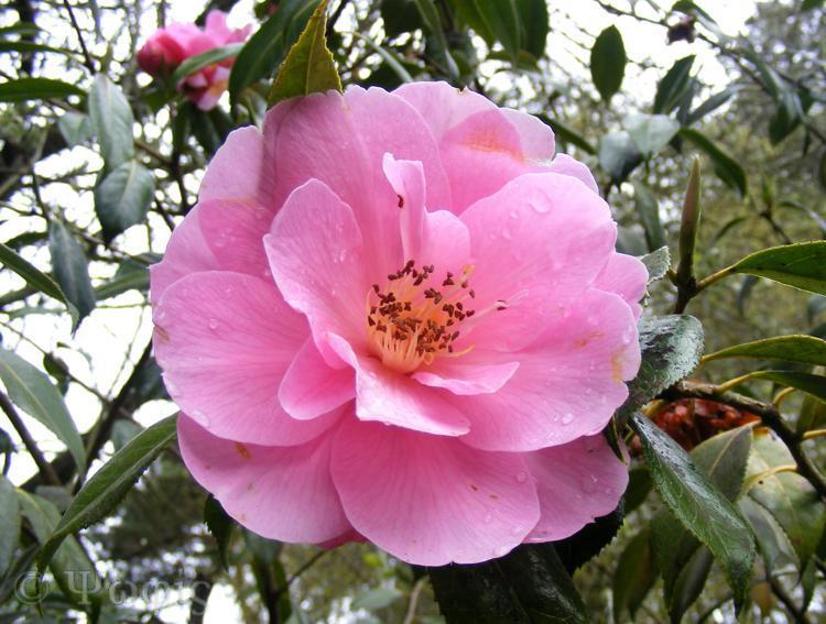 Exbury gardens,Camellia