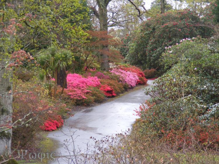 Exbury,rain,rhododendron