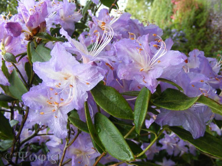 Exbury gardens,Rhododendron