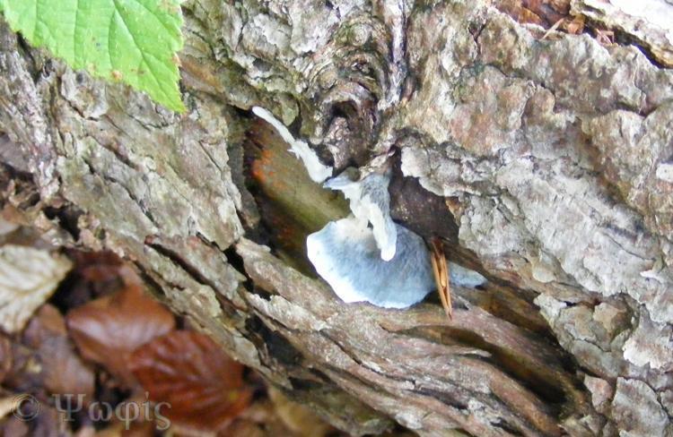 fungi,Blueing Bracket,Postia subcaesia