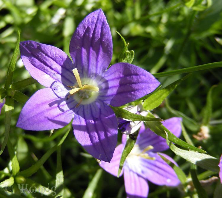campanula,bell flower