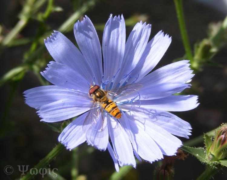 chicory,hover fly