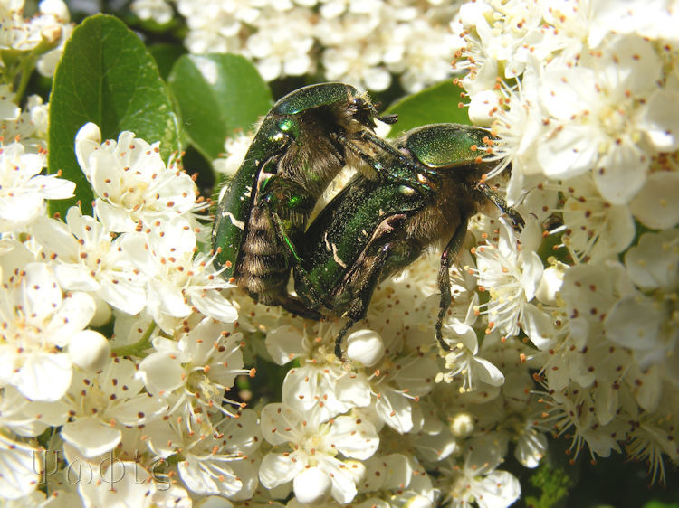 Cetonia aurata,Rose chafer beetle