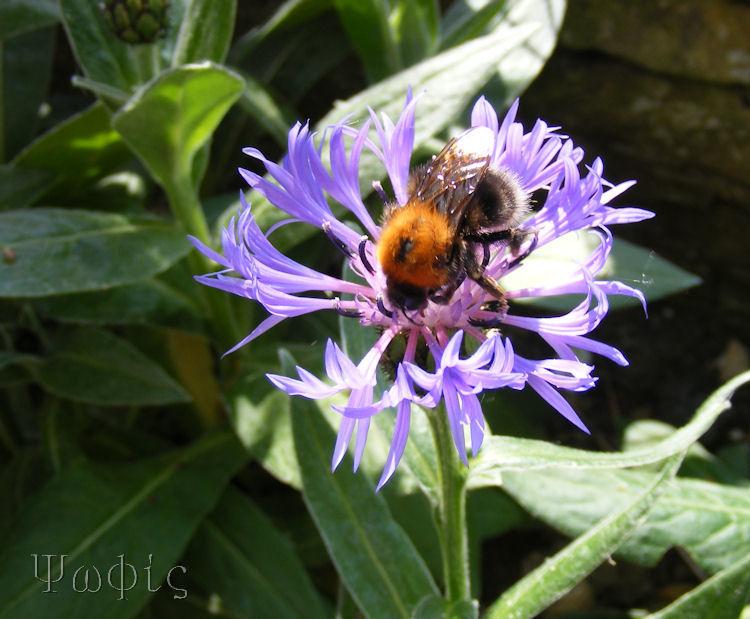 Cornflower,bee