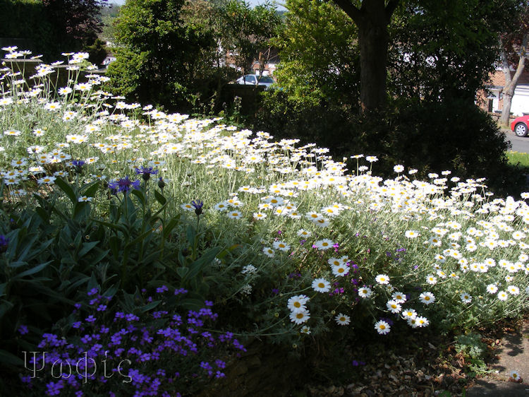 daisy,Anthemis cupaniana