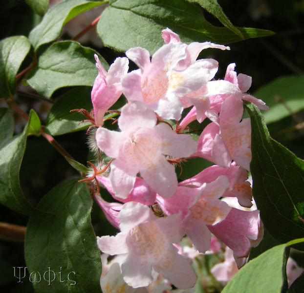 Kolkwitzia amabilis,Chinese Beauty bush