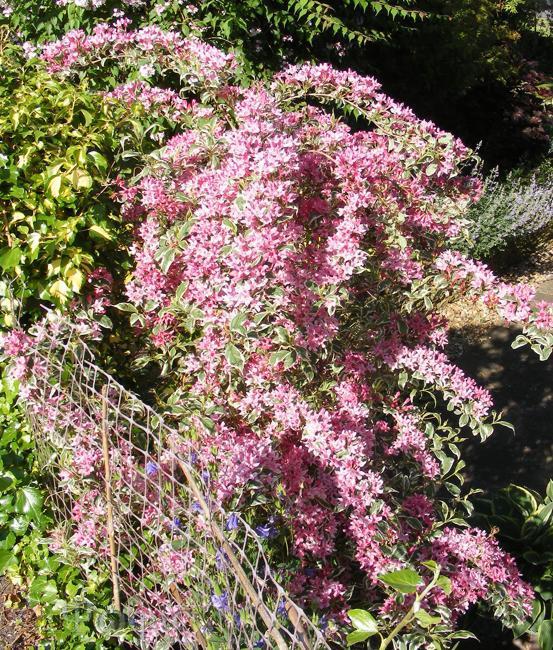 garden,weigela